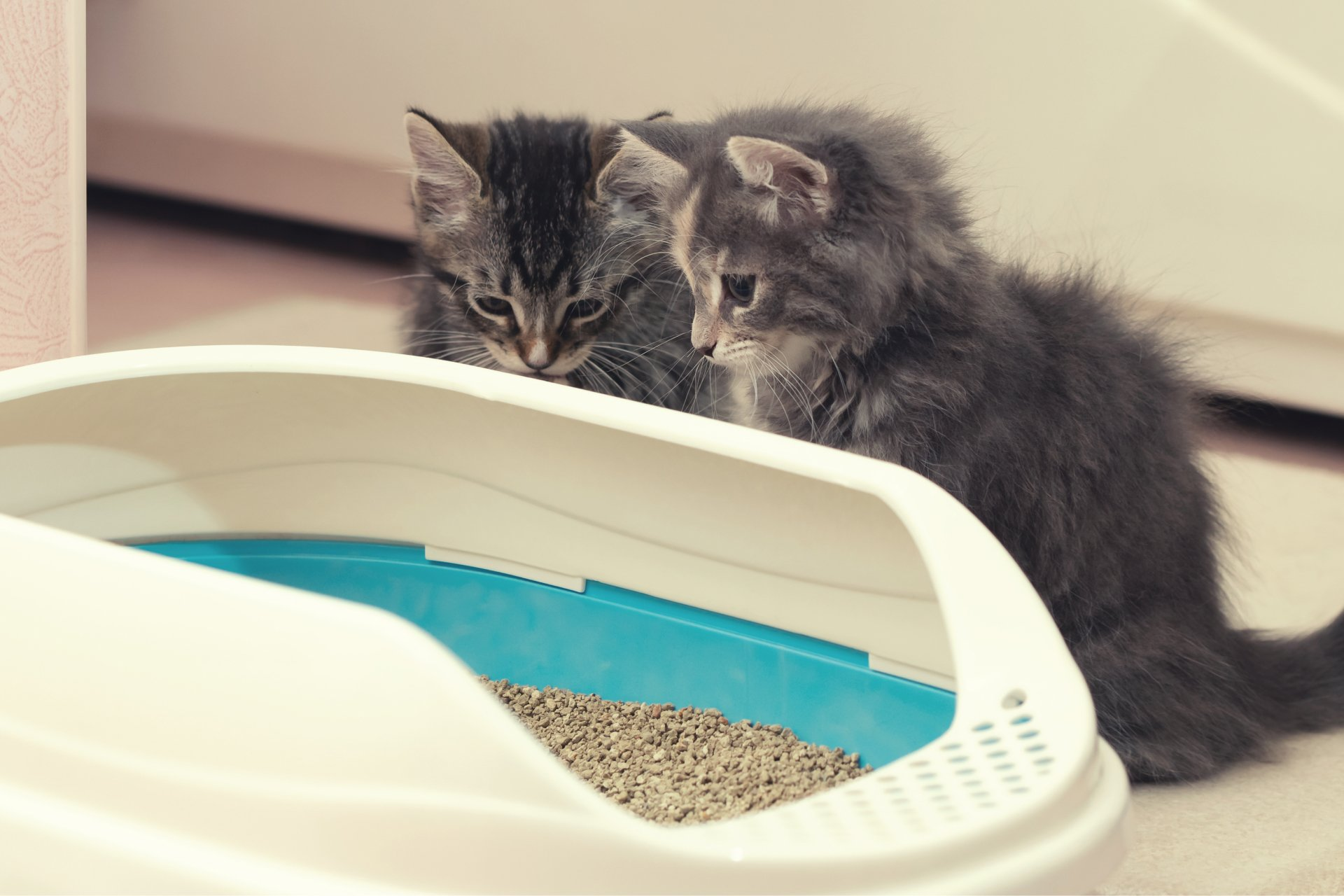 Learn How to Litter Train Kitten to Prevent Litterbox Problems